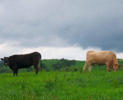 黒毛和牛と赤毛和牛