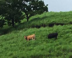 赤毛和牛と黒毛和牛、熊本県阿蘇