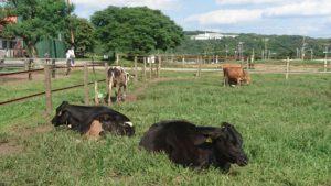 和牛、国産牛