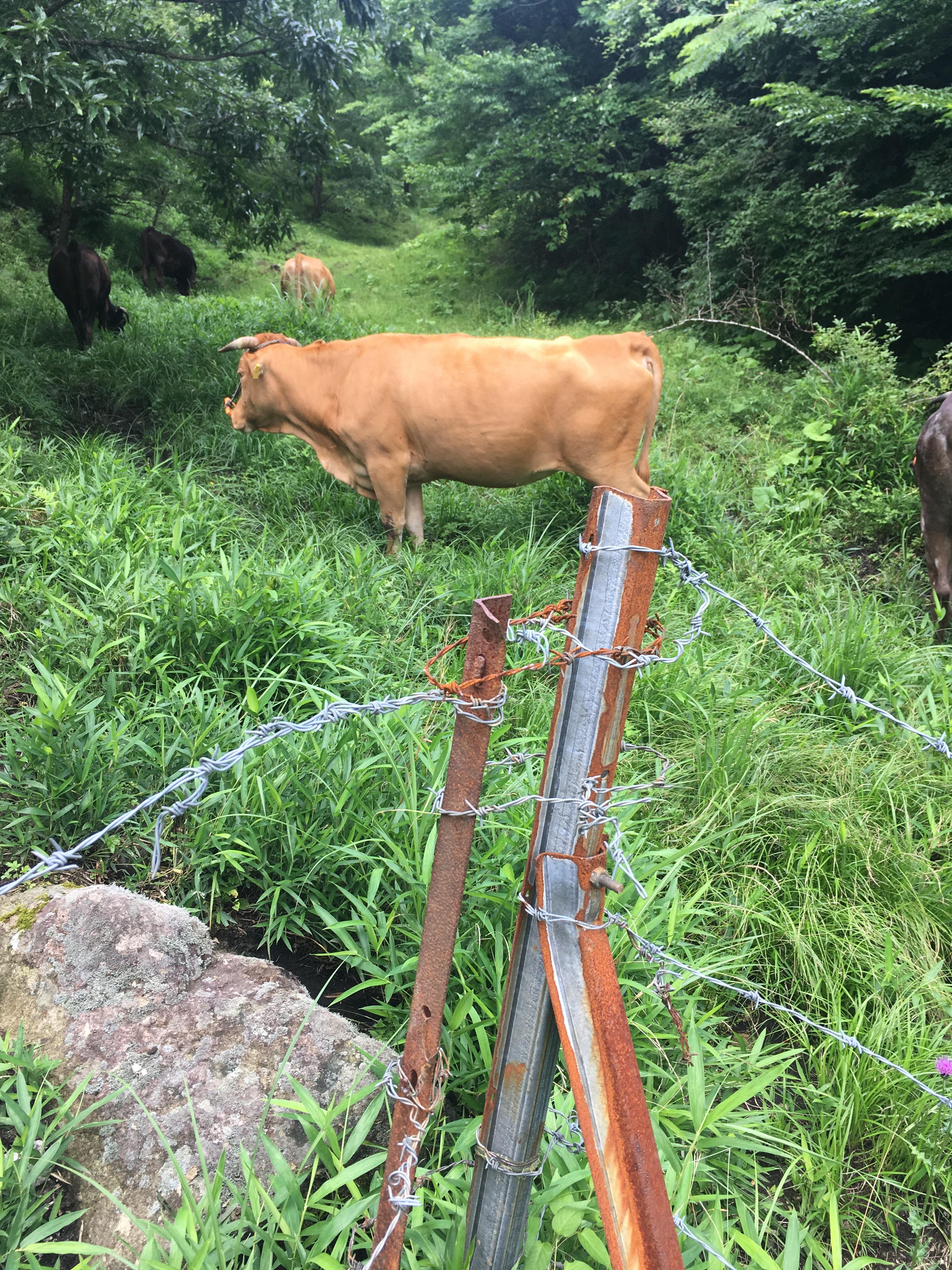 熊本県 阿蘇 赤牛 あか毛和牛 放牧